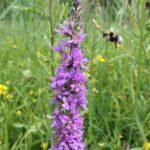 WIG02_Biene im Anflug Naturschutzgebiet oberhalb Leisibühl