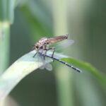 WIG52_1 Raubfliege mit Kleinlibelle