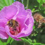 WIG64_Hummel und Biene