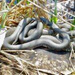 Gabriele Hahner Schlangen
