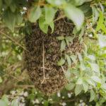 Als Hungerschwarm wird in der Imkerei ein Bienenschwarm bezeichnet, der aufgrund von Hungerdruck ausfliegt. Oft pisserit dies, wenn der Imker zu viel Honig erntet.