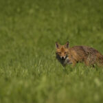 A juvenile red fox (Vulpes vulpes) looking for easy pray on hot summer afternoon.